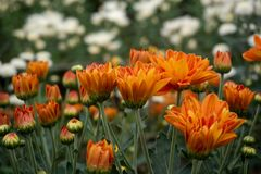 Close up beautiful red of Chrysanthemum flower background , Chrysanthemum garden royalty free stock image