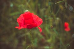 Beautiful red poppy flower. Close up of beautiful red poppy flower royalty free stock images