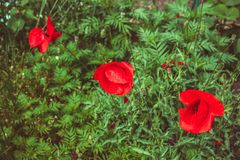 Close up of beautiful red poppy flower. Beautiful red poppy flowers field in summer garden royalty free stock photos