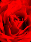 Close up of beautiful red rose Royalty Free Stock Image