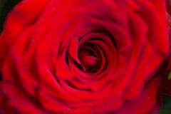 Close up of beautiful red rose flower Royalty Free Stock Photography
