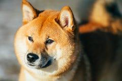 Close Up Beautiful Red Shiba Inu Puppy Dog Staying Stock Photo