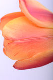 Close up beautiful red tulip flower. On white Stock Image
