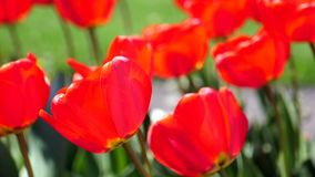 Beautiful Red Tulips In The Field. Close-Up Beautiful Red Tulips In The Field stock footage