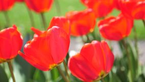 Beautiful Red Tulips In The Field 2. Close-Up Beautiful Red Tulips In The Field stock video