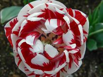 Close up of a beautiful red and white tulip. royalty free stock images