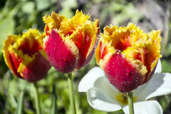 Close up of beautiful red and yellow  tulips Royalty Free Stock Photo