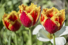 Close up of beautiful red and yellow  tulips Stock Photography