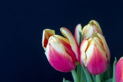 Red and yellow tulips in a vase from above. Close-up of a beautiful red and yellow tulips in a vase over a dark background seen from above Royalty Free Stock Image