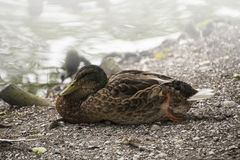Close-up of a beautiful relaxing Mallard Duck. On a sunny Day Stock Photos