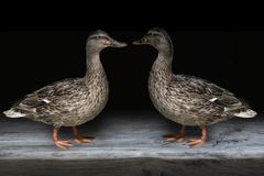 Close-up of 2 beautiful relaxing Mallard Ducks. Close-up of two beautiful relaxing Mallard Ducks Royalty Free Stock Image