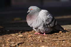 Close up of a beautiful relaxing pigeon Stock Image