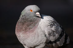 Pigeon birds. Dove Royalty Free Stock Photography
