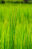 Close up beautiful rice paddy field. In Thailand Stock Photography