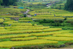 Close up of beautiful rice terraces with ripe cereal crop. Traditional Japanese agriculture landscape Royalty Free Stock Photos