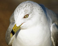 Close up of a beautiful Ring-Billed seagull with its distinctive beak and yellow eyes.  Head slightly tilted downwards Royalty Free Stock Image