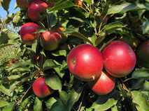 Close-up of beautiful ripe red apples on an apple tree Stock Photo