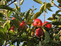 Close-up of beautiful ripe red apples on an apple tree Stock Photography