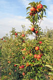 Close-up of beautiful ripe red apples on apple trees Stock Photos