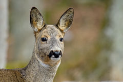 The Roe Deer (Capreolus capreolus). A close up of a beautiful roe deer, Uppland, Sweden royalty free stock images