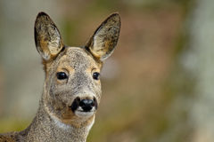 The Roe Deer (Capreolus capreolus). A close up of a beautiful roe deer, Uppland, Sweden stock photos