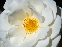A Close up beautiful rosa `white spray` rose perfectly formed blooms in a spring season at a botanical garden. Close up beautiful rosa `white spray` rose stock photos