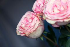 Close-up beautiful rose with water drops Royalty Free Stock Photo