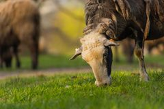 Close-up beautiful sheep graze on green meadow and nibble grass in pasture on sunny day. Livestock breeding stock image