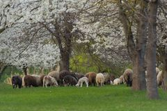 Close-up beautiful sheep graze on green meadow and nibble grass in pasture on sunny day. Livestock breeding stock photo