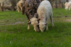 Close-up beautiful sheep graze on green meadow and nibble grass in pasture on sunny day. Livestock breeding royalty free stock photo