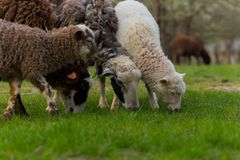 Close-up beautiful sheep graze on green meadow and nibble grass in pasture on sunny day. Livestock breeding royalty free stock images