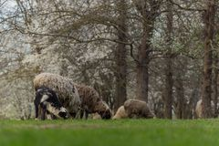 Close-up beautiful sheep graze on green meadow and nibble grass in pasture on sunny day. Livestock breeding royalty free stock image