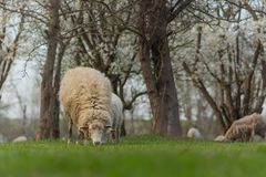 Close-up beautiful sheep graze on green meadow and nibble grass in pasture on sunny day stock image