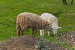Close-up beautiful sheep graze on green meadow and nibble grass in pasture on sunny day. Livestock breeding stock images
