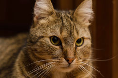 Close-up of a beautiful short-haired cat Stock Photography