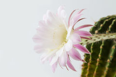 Close-up of a beautiful silky pink blossoming cactus Royalty Free Stock Photos
