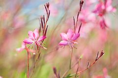 Close-up of beautiful small pink flowers  Siskiyou Pink Gaura  in the sunlight at  summer  morning.   Painterly colorful artisti Stock Photo