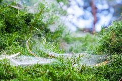 Close Up Beautiful spider web on green bush Royalty Free Stock Photography