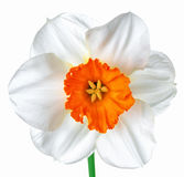 Close up beautiful spring white and orange daffodil flower isola Royalty Free Stock Photos