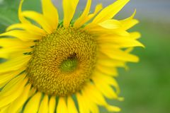 Close up beautiful Sun Flower with small bee stock photo