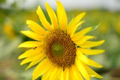 Close up beautiful Sun Flower with small bee stock photography