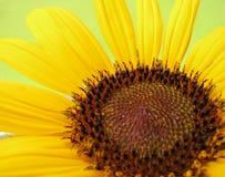 Close up of beautiful sunflower Stock Image
