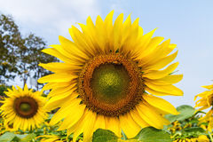 Close up beautiful sunflower field on natural light,soft focus stock image