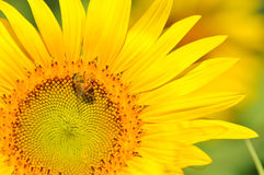 Sunflower and bee with blur background Stock Photography