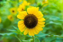 Close up of Beautiful sunflowers Royalty Free Stock Images