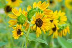 Close up of Beautiful sunflowers Royalty Free Stock Photography