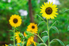 Close up of Beautiful sunflowers Royalty Free Stock Photos