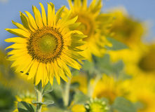 Close up of beautiful sunflowers petal in flowers frild with cop Royalty Free Stock Images