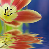 Close up of beautiful tulip Stock Image