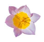 Close-up beautiful Tulip flower isolated on white Stock Photos